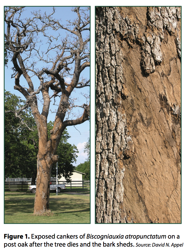 post_oak_trees