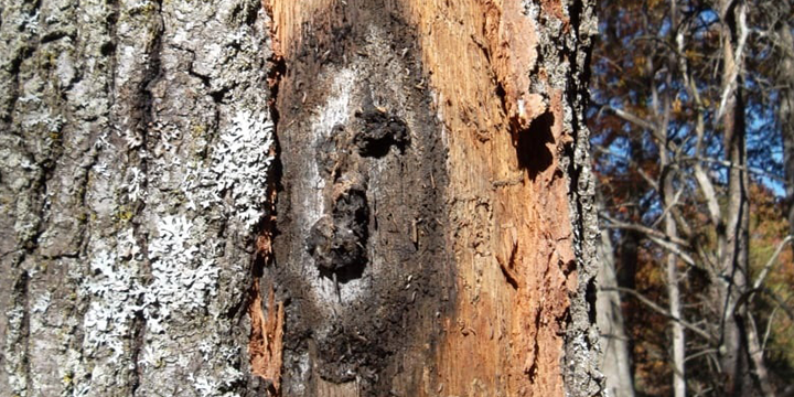 oakwilt_tree_disease