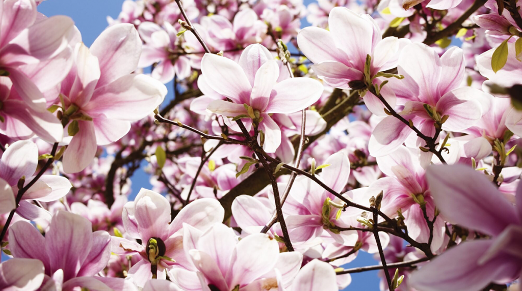 magnolia-tree-blog