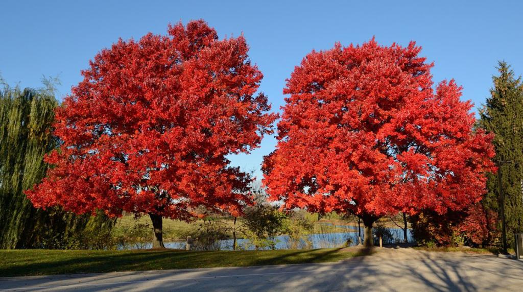 Chinese-Pistache-Tree