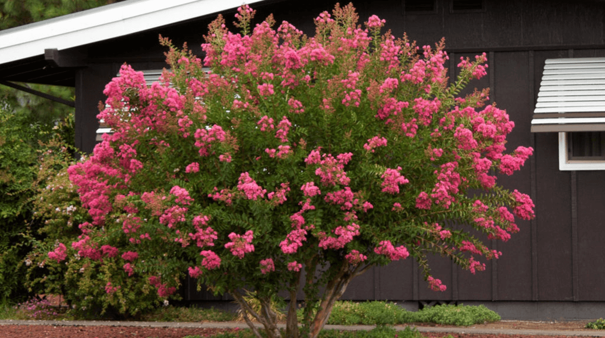 crape-myrtle-tree-diseases-blog