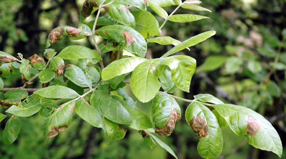 Anthracnose-disease-blog