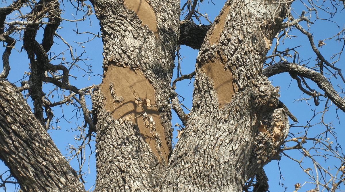 oak-wilt-management
