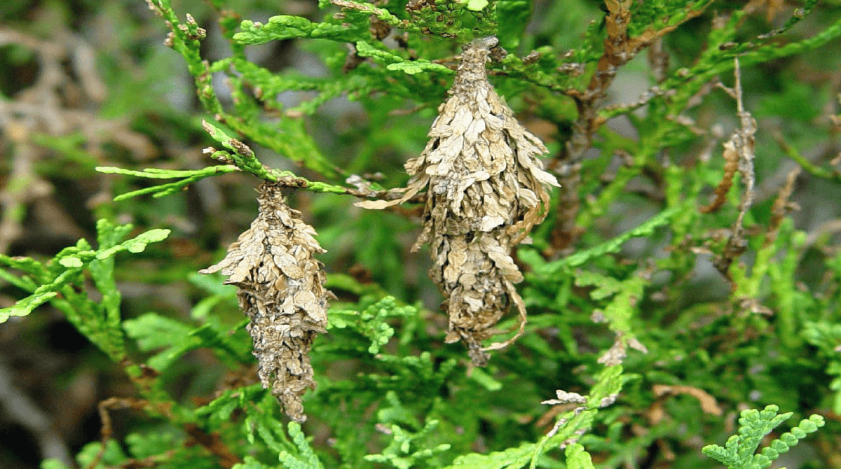 bagworms-trees
