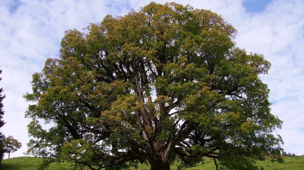 Caring-for Sycamore-Trees-in-North-Texas